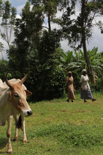 Cattle in Kisumu Kenya