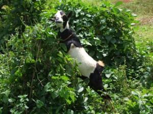 Goat in Kisumu Kenya