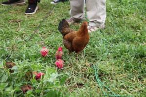 Pink chickens in Kisumu Kenya