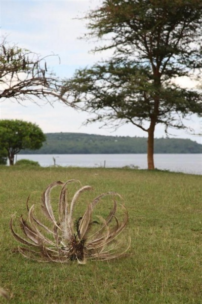 Kochia head dress - shores of Lake Victoria
