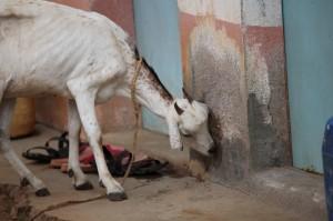 14.03.02 Goat (Large)